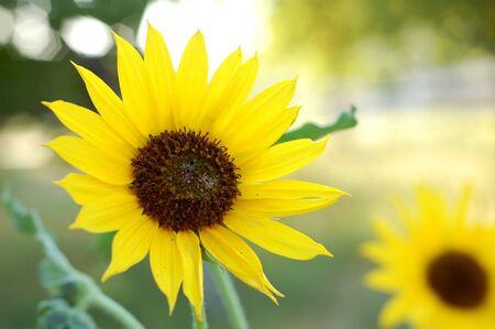 Sunflower Garden in Bloom