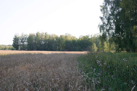 bordering: Wheat field bordering the forest grove Stock Photo