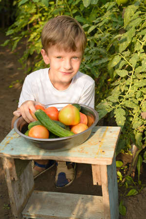 Children harvest vegetables in a family garden. A boy in a greenhouse collects a tomato harvest on a bright day. It fucks from the suns rays.