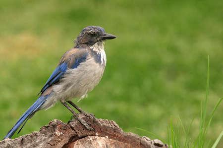 Ein Blue Jay Sitzung auf ein Protokoll Standard-Bild - 271493