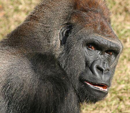 wildanimal: Gorilla