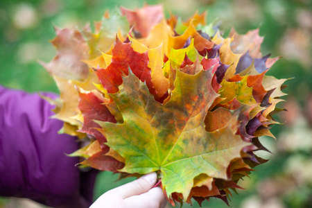 Maple leaves of all colors. The girl holds in her hands a bouquet of leaves.