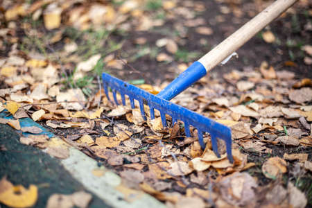 Harvesting leaves with a rake. Garden tools.
