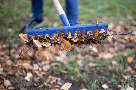 Harvesting leaves with a rake. Dry leaves are collected in the fall. Garden tools for cleaning the area. Blue rake with a pole. Work in the garden. Stockfoto