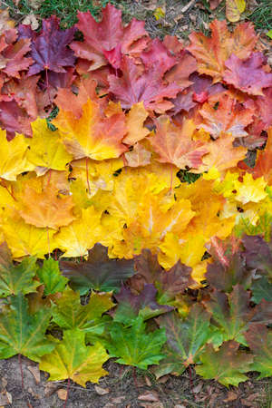 Gradient of autumn leaves of bright colors. Red, yellow and green tones.