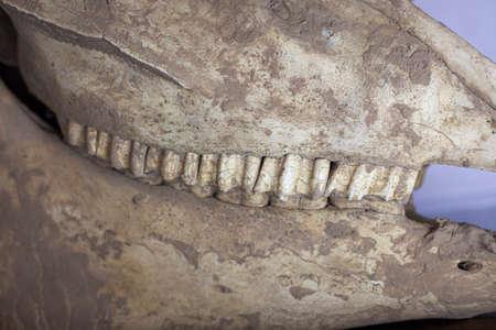 Horse skull. Animal head bone. 写真素材