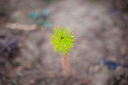 Pine sprout planted in the ground.