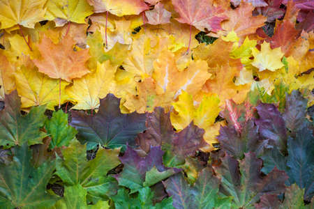 Maple leaves of all colors. Dry leaves.