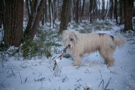 Dog with white hair for a walk in the forest. A cheerful and carefree dog runs in nature. Pet Health. True friend dog. Walking animals for money in the park.