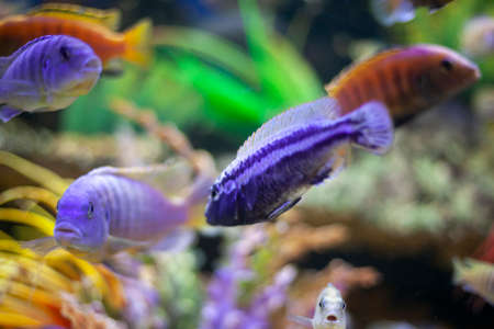 Exotic fish in the aquarium. Purple fish swim in the water. Beautiful background on the theme of the depths of the sea. The inhabitants of the seabed. Food for rbok. Sale at the pet store. A nice background for meditation.