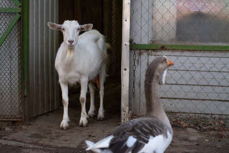 Goats on the farm. Animals are walking. Country life. Livestock far from the city.