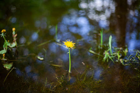 Yellow flower on a blue water background. Simplicity in nature. Beautiful background. Dandelion grows in the summer.