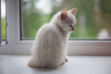 White kitten no window. A pet explores the world. Cute kitty at home.
