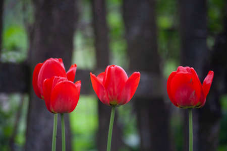Tulips in the garden. Red flowers. Natural background. Beauty of nature. Flowering plants.