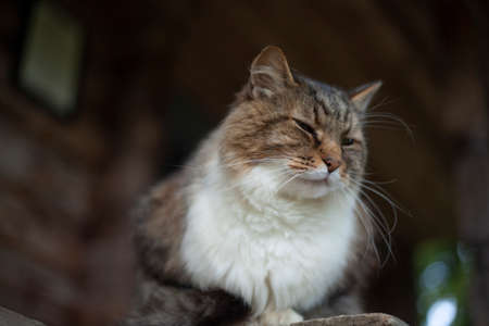 A cat with white fur on his chest. The cat in the village. A large animal with a sly look is resting on the street.