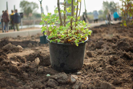 Seedling in a pot. Planting trees in the ground. Autumn digging of perennial plants into the soil. Landscaping of a suburban area.