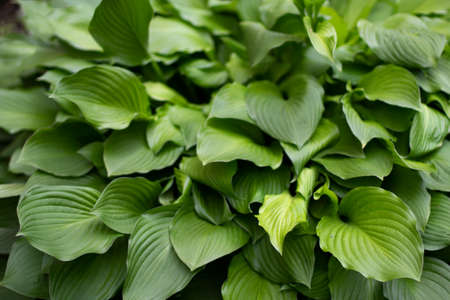 Large green leaves of the plant. Natural background summer plant in the garden. Simple background large juicy sheets. Imagens