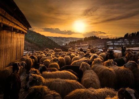 Sheep herd at sunset in Romania Фото со стока