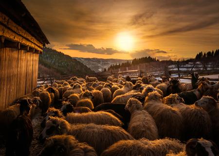 Troupeau de moutons au coucher du soleil en Roumanie