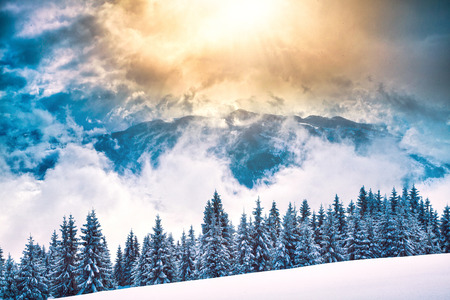 Beautiful fir tree and spruce winter landscape background