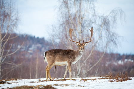 Beautiful male deer in winter Stok Fotoğraf