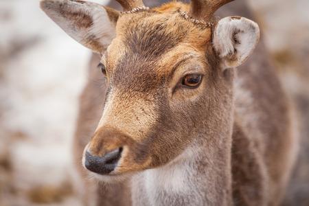 Beautiful male deer in winter Zdjęcie Seryjne