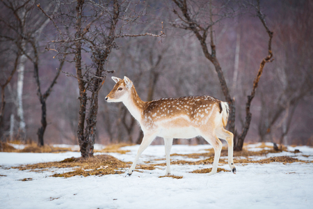 Little doe running through the forest in winter