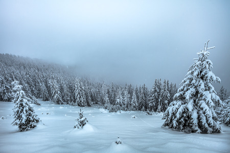 Beautiful winter landscape, snow covered spruce forest