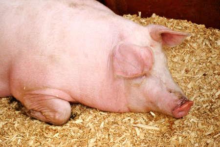 domestics: Pig Sleeping on Hay Stock Photo
