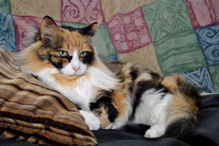 luxery: The Queen Calico Feline Stock Photo