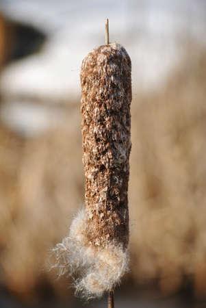 wintery: Wintery Cattail