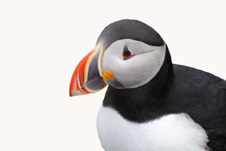 Puffin Close-Up Isolated on White Stock Photo