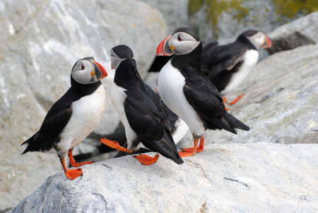 puffins: A Colony of Puffins on Machias Island Stock Photo