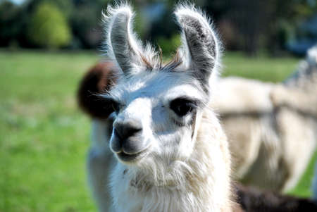 alpaca: White Alpaca