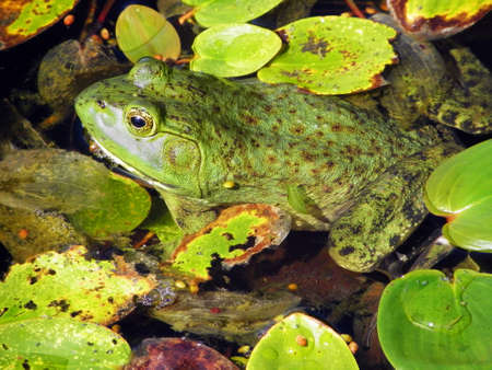 Frog in Lily Pads photo