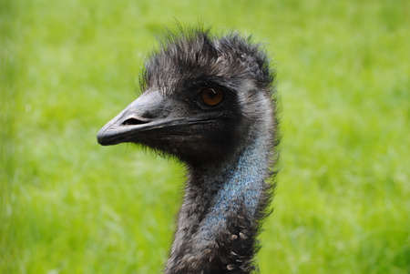 headshots: Emu Head with a Grassy Background