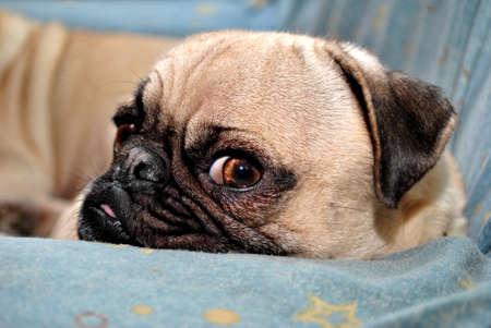 Infastidito Pug Puppy Archivio Fotografico - 25257536