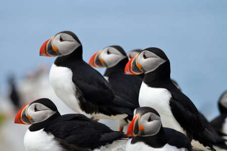 Multliple Puffins with a Clear Blue Sky