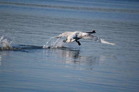 cygnet: Perfect Swan Flight
