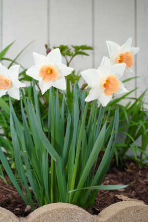White and Orange Daffodils photo