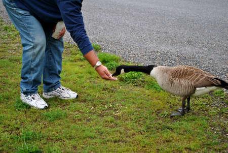Feeding Geese photo
