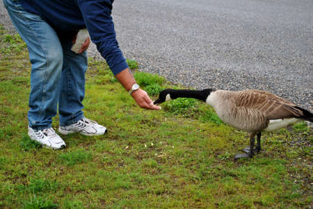 Feeding Geese photo