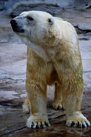 confined: Powerful Polar Bear