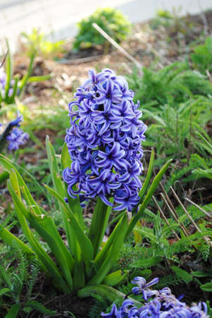 Blue Hyacinth photo