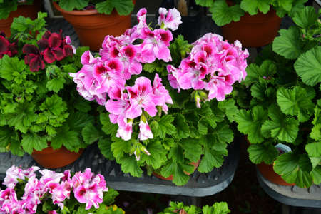 Pretty Pink Geranium photo