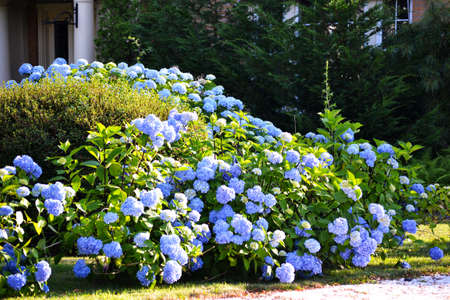 Blue Hydrangea Bush Stock Photo