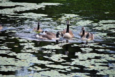 Canadian Geese Feeding in a Pond Reklamní fotografie