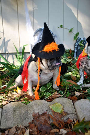 mutts: Witchy Pug Stock Photo
