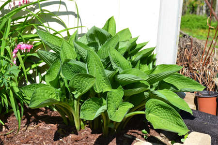 Bright Green Hosta