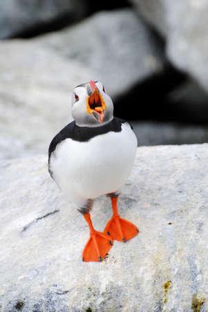 puffins: Squawking Puffin